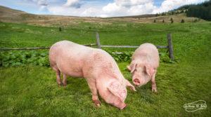 Consumo carne de cerdo en el prado